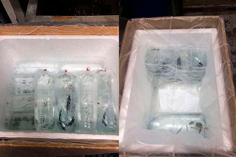 Упаковка рыбок в термоконтейнеры