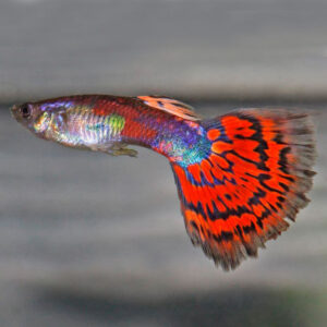 Гуппи мозаика красная самец